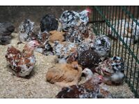 Pekin Bantams for sale, various ages and colours
