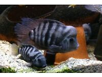 Cichlid convict fry for sale 30.00