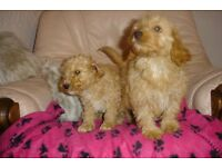 CAVAPOO PUPPIES APRICOTS / CREAMS /BLACKS ADORABLOE PUPPIES AND JUNORS FROM £595