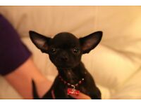 KC REGISTERED SMOOTH COAT CHIHUAHUA PUPPIES