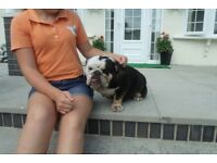 for sale british english bulldog female dog
