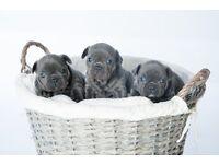 Blue French Bulldog puppies KC d/d 2 girls LEFT