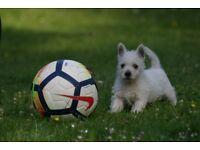 West highland White Puppies.