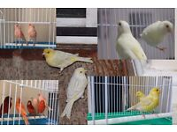 TOP CONDITIONS &HEALTHY out side Aviary Canary birds many type and colour cage and foods