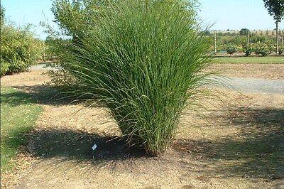 Miscanthus sinensis Gracillimus MAIDEN GRASS Seeds! Miscanthus Maiden Grass