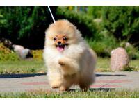 Pomeranian puppy boy KC registerable