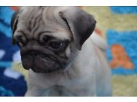 Ready to go Gorgeous Fawn Pug Puppies Female Kc Reg