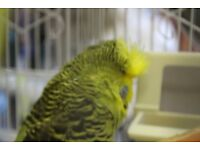 pair green budgies with cage