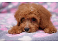 F1 Cavapoo Fully vaccinated Deep Red Puppies PRA Clear