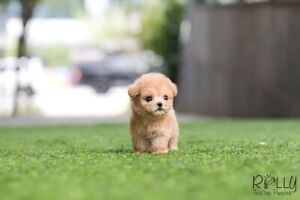 Looking for a TEACUP PUPPY.