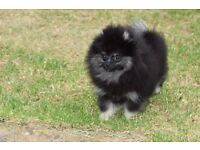 Beautiful Pomeranian Girls for Sale