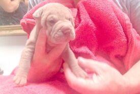 Sharpei Puppies Kc regesterd