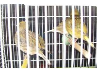 CANARIES FOR SALE £25