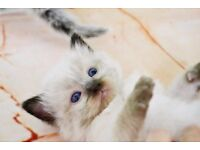 Charming Ragdoll seal point kitten GCCF registered/ many champions in pedigree