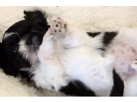 Stunning and adorable Imperial Shih-Tzu puppies soon available