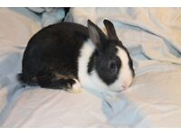 Lovely Young Dwarf Rabbits (male and female)