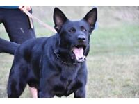 CHEAPEST POSSIBLE PUPPIES FOR KC REGISTER PURE BLACK GSD