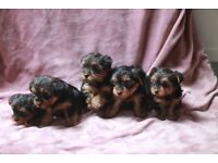 Yorkshire Terrier puppy's