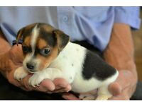 4 Jack Russell Puppies for Sale