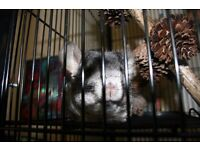 2 FEMALE CHINCHILLAS WITH CAGE, FOOD BOWL AND DUST BATH £125 ONO
