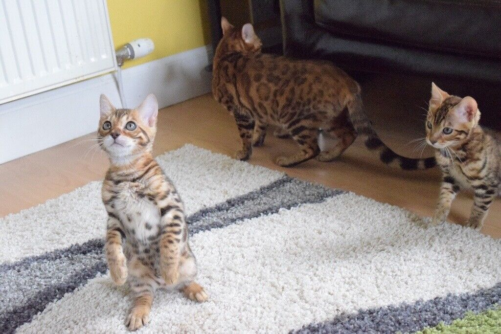 Bengal Kittens In Moffat Dumfries And Galloway Gumtree