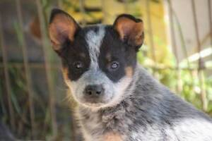 Blue Heelers For Sale : Blue heeler dogs puppies gumtree australia free local