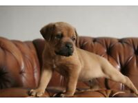 Rottweiler cross bulldog puppies
