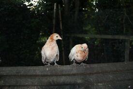 Pair of Serama Dutch Pyle Bantams