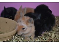 baby lion head rabbits
