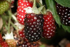 7ft+ Rare Boysenberry bush. Heavy cropper. Sweet fruit. Famous US hybrid bush.
