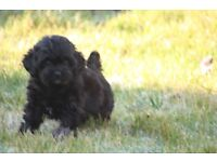 SHIH POO PUPPIES FULLY HEALTH CERTIFIED