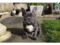 French bulldog Kc Reg Stunning Solid Deep Blue Boy