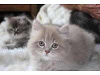 British longhair kitten one left viewing recommended