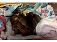 jack a wow /yorkshire terrier puppies