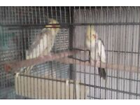 2 adult cockatiels with cage