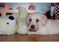 Labrador Puppies - full pedigree