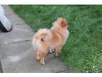Lovely Pet Pomeranian girl for sale