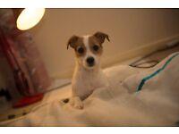 A Beautiful Jack russell x Chihuahua