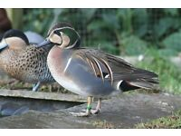 Waterfowl: Fulvous Whistling Duck, Tufted, Common Pochard, Chiloe Wigeon, Baikal and Versicolor Teal