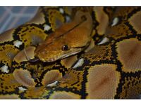 reticulated python + full setup very tame