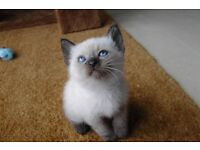 2 Siamese Seal Point Kittens and One Siamese Cross kitten for sale