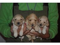 Stunning cream and golden Cockapoopups not open to offers