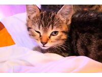 Beautiful tabby Bengal 8 week old Kittens For Sale.