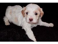 5 Outstanding Male Cavachons
