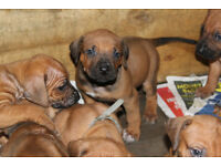 KC registered Rhodesian Ridgeback puppies