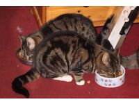 Beautiful tabby adult cats