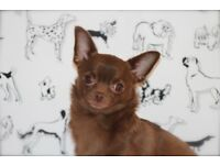 Chihuahua chocolate spayed 4 yrs old