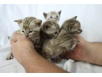 Beautiful Marble & Snow Bengal Kittens For Sale, only 4 left!