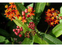 "Plants for sale: Asclepias ""silky scarlet"""