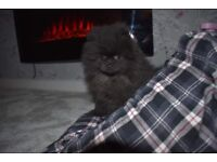 KC Pomeranian Puppy